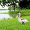 Goosepond link