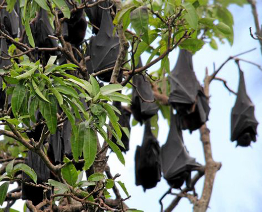 Flying Foxes control