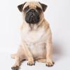 pug,_sitting_170292956 copy