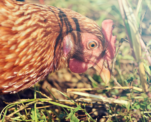 Keeping of poultry