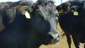 Cowhead profile
